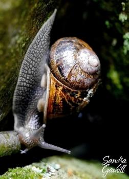 British Snail