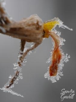 Frozen Tomato Blossom