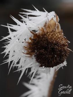 Ice Blown Sunflower